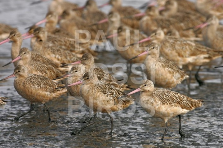 Marching Marbled Godwits