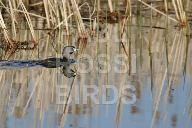 PIED-BILLED GREEBE MARSH REFLECTION