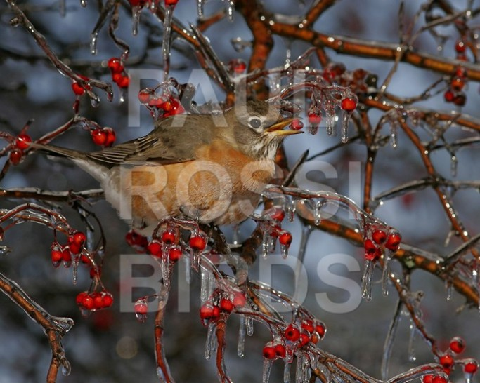 Robin feeding in ice