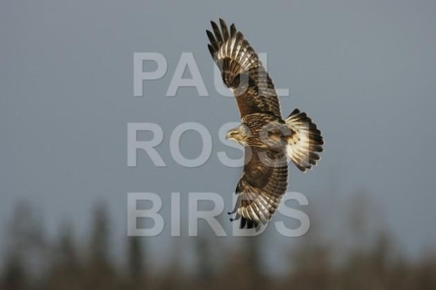 Rough-legged Hawk back turn
