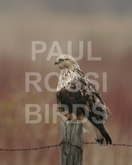 ROUGH-LEGGED HAWK ON FENCE POST