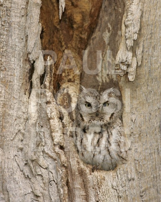 SCREECH OWL NEST CAVITY