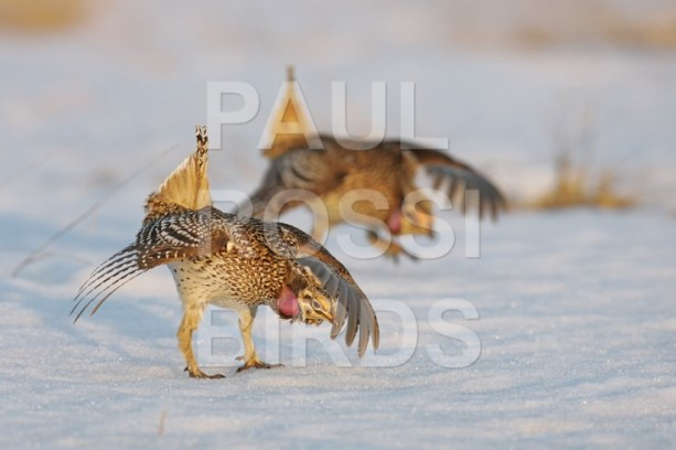 SHARP-TAILED GROUSE DANCING IN SNOW