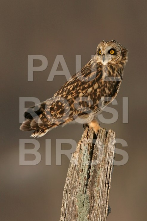 Short-earred Owl perched