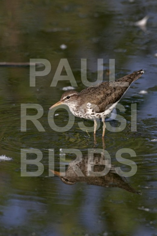 Spotted Sandpiper reflection