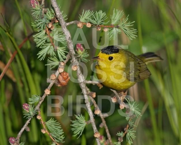 wilsons-warbler-male-in-tamarack