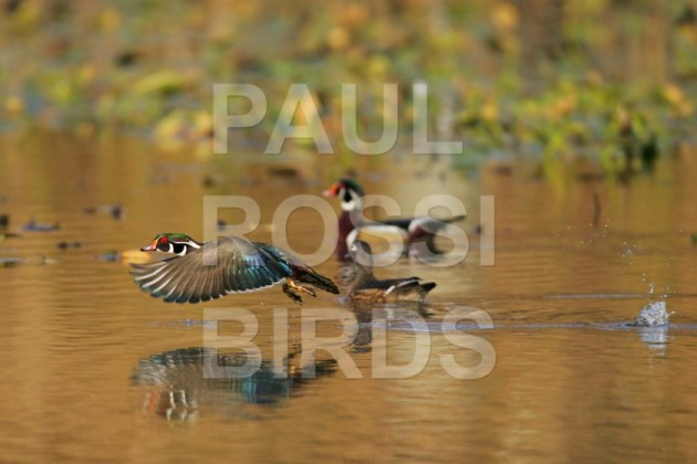 Wood Ducks on fall pond